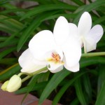 orchid (12)
